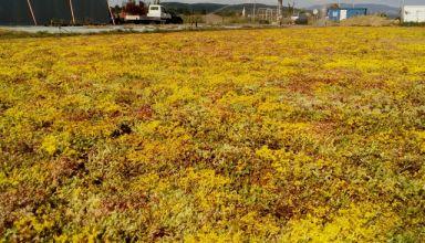 Rulou de vegetație rezistentă la secetă - Sedum