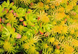 Extenzív növényzet