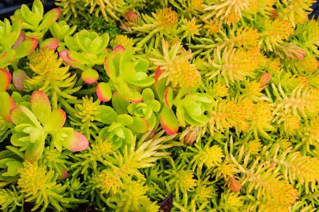 Extensive vegetation