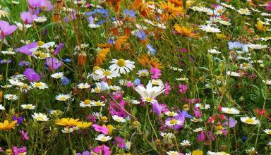 (Română) Seminţe pentru acoperiş biodivers