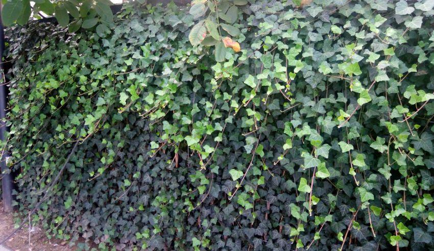Spațiu verde pe garaj subteran cu panouri de iedera și copaci de până la 10 m
